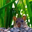 2-rat